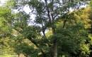 Chinese Cork Tree